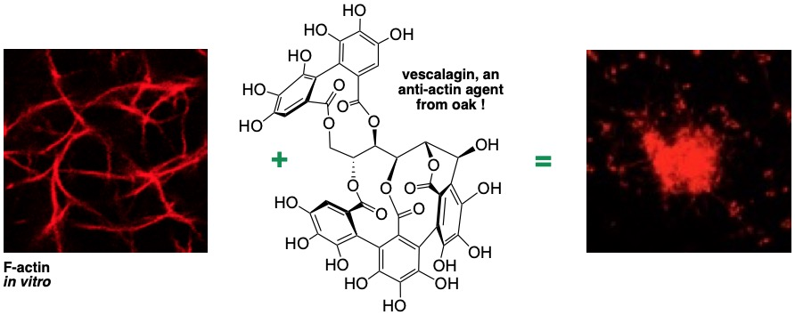 Actin + Vescalagine